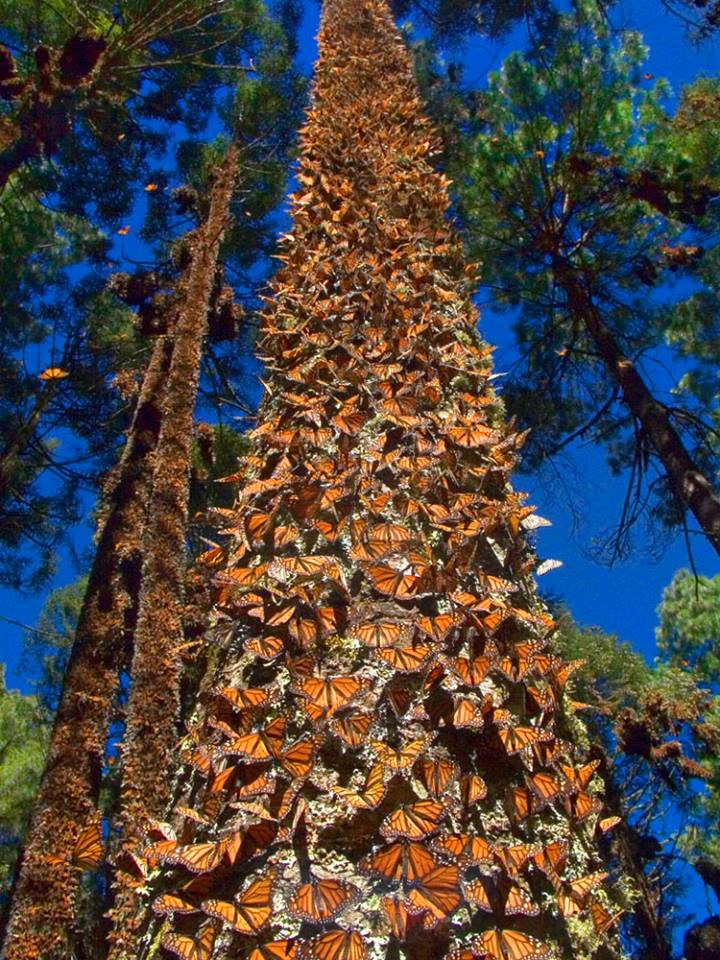 Tree with Monarchs